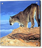 Cougar In The Sky Acrylic Print
