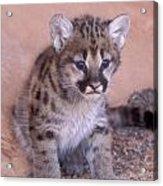 Cougar Kitten Acrylic Print