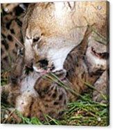Cougar Mother Licks Kitten Acrylic Print