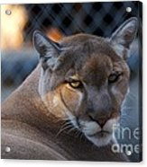 Cougar Portrait - Sad Eyes Acrylic Print