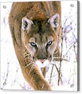 Cougar Stalks Through Snow Acrylic Print