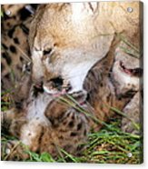 Couger Mom Cleans Kitten Acrylic Print
