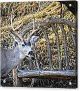 Country Buck Acrylic Print
