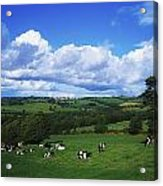 County Tipperary, Ireland, Dairy Cattle Acrylic Print