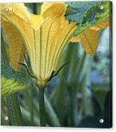 Courgette Flower Acrylic Print