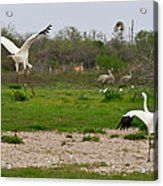 Courtship With Audience Acrylic Print