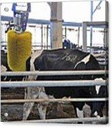 Cow Brush Acrylic Print by Photostock-israel