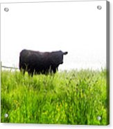 Cow Country Acrylic Print