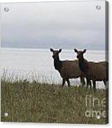 Cow Elk Pair On Beach Acrylic Print
