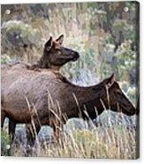 Cow Elk Acrylic Print