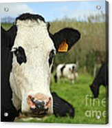 Cow Facing Camera Acrylic Print