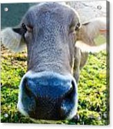 Cow In Backlight Acrylic Print