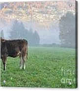 Cow On The Foggy Field Acrylic Print