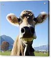 Cow With A Bell Acrylic Print