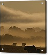 Cows Are Silhouetted In A Field Acrylic Print