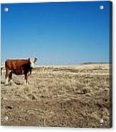 Cows At Sp Crater Acrylic Print
