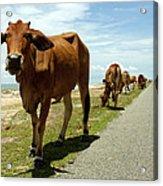 Cows At The Sea Acrylic Print