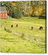 Cows Grazing On Grass In Farm Field Fall Maine Acrylic Print