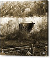 Cows In Pasture Acrylic Print