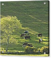 Cows On Hillside Summer In Maine Acrylic Print