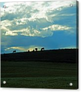 Cows On The Hill Acrylic Print