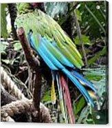 Coy Parrot Acrylic Print