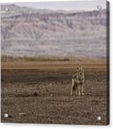 Coyote Badlands National Park Acrylic Print