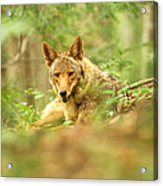 Coyote Caught Napping Acrylic Print