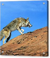 Coyote Climbs Mountain Acrylic Print