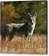 Coyote On A Fall Meadow Acrylic Print