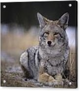 Coyote Resting In Winter Grass, Snowing Acrylic Print