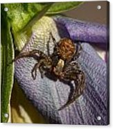 Crab Spider In A Violet Acrylic Print