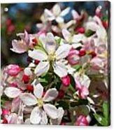 Crabapple Tree Flower Acrylic Print
