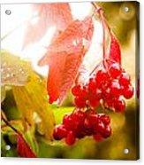 Cranberry Bliss Acrylic Print