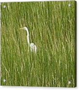 Crane In The Tall Grass On Assateague Island Maryland Acrylic Print