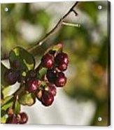 Crape Myrtle Fruit Acrylic Print