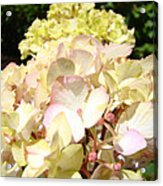 Cream Pink Hydrangea Flowers Art Prints Floral Acrylic Print