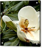 Creamy Magnolia Acrylic Print