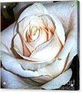 Creamy Rose IIi Acrylic Print