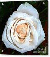 Creamy Rose Iv Acrylic Print