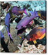 Creole Wrasse At A Cleaning Station Acrylic Print