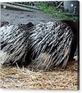 Crested Porcupine - 0002 Acrylic Print
