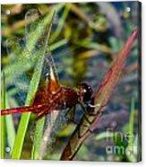 Crimson Dragon Acrylic Print