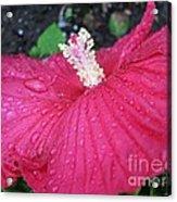 Crimson  Hibiscus Acrylic Print