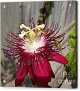 Crimson Passion Flower Acrylic Print