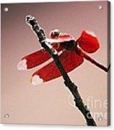 Crimson Wings At Dusk Acrylic Print