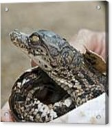 Crocodile And Alligator Breeding Farm  Acrylic Print