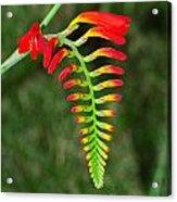 Crocosmia - Lucifer Plant Acrylic Print