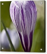 Crocus Blossom Acrylic Print