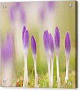 Crocus Flowers (crocus Tommasinianus) Acrylic Print